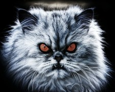 persian cat with orange eyes and big teeth