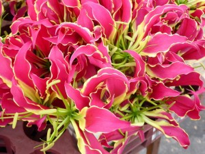 close up of bright pink flowers