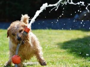 perro-jugando-con-agua