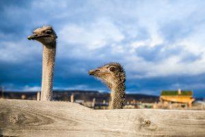 avestruces-asomando-cabezas-por-la-arena